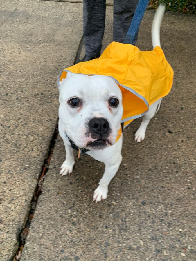 "Senior Emily McCloskey's family got their American Bulldog Boxer, Bianca, from an animal shelter, about eight years ago. ""She had heart worms when we started fostering her,"" McCloskey said. ""We decided that if she survived her treatment we would keep her!"""